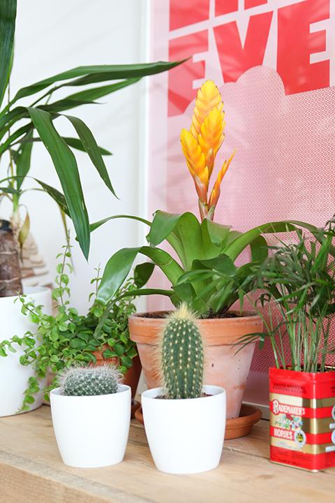 Bromelia cactussen en Yuca
